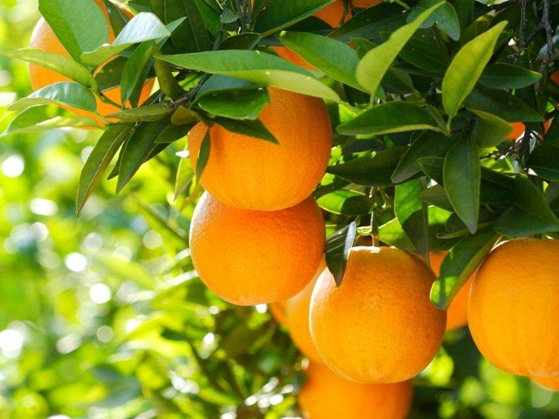 apelsiny-3